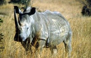 Wild rhinoceros.