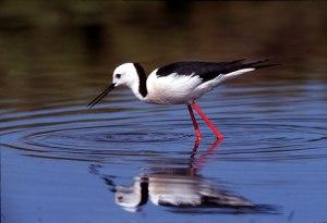 Black-winged stilt wading in water.