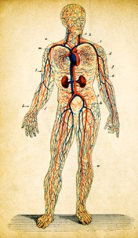 Diagram of human showing blood vessels.