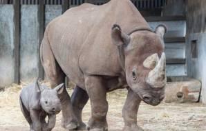 A big rhino and a baby rhino.