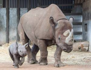 A big rhino and a baby rhino.