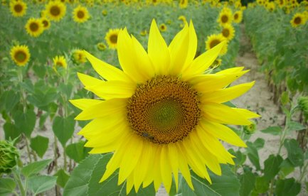 A sunflower, in a field of sunflowers.
