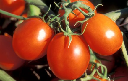 A bunch of rite tomatoes on a bush.
