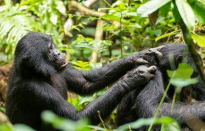 An older bonobo (45 years old), grooms another with arms outstretched