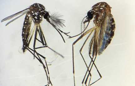 Image of two mosquitoes.