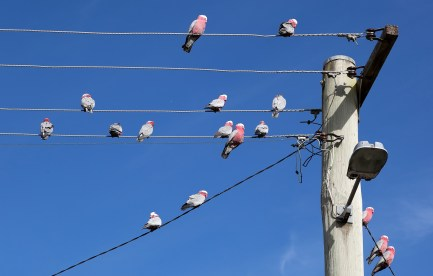 Pink and grey galahs sitting on powerlines (wires)
