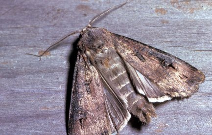 Brown moth with segmented, furry body.