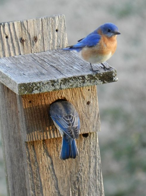 Eastern Blue Birds