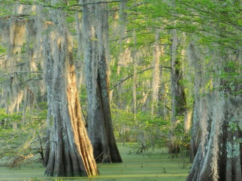 Photograph of Cypress Trees at Dawn, Spring Bayou, Louisiana