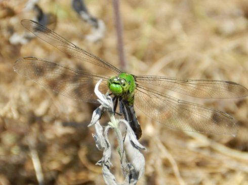 photograph of a green dragonfly in dry, brown grass