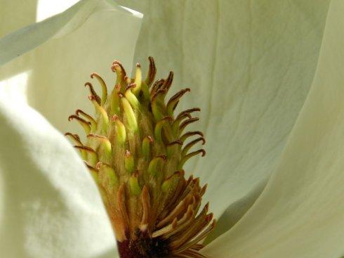 A macro photograph of a magnolia bloom