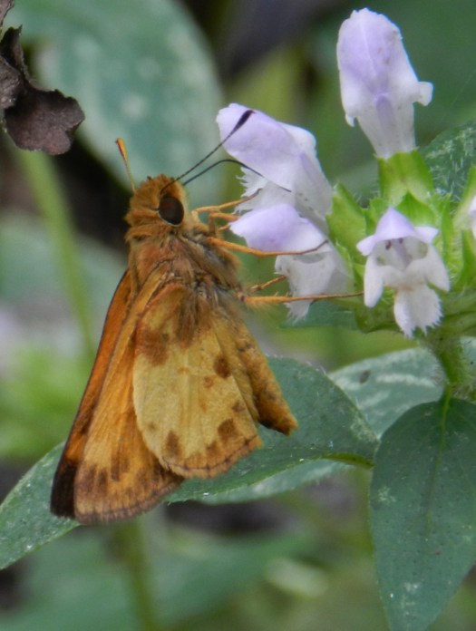 photograph of a Zabulon Skipper butterfly