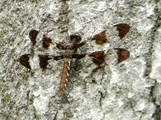 Photograph of a dragon fly on bark