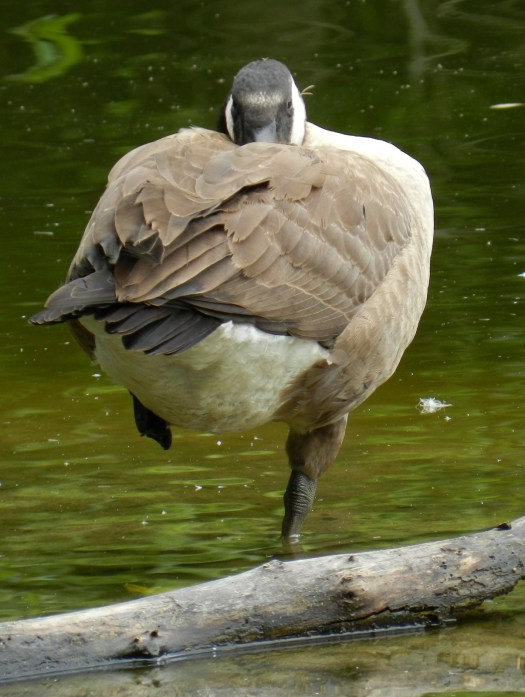 photograph of a Canada Goose standing on one foot while it rests