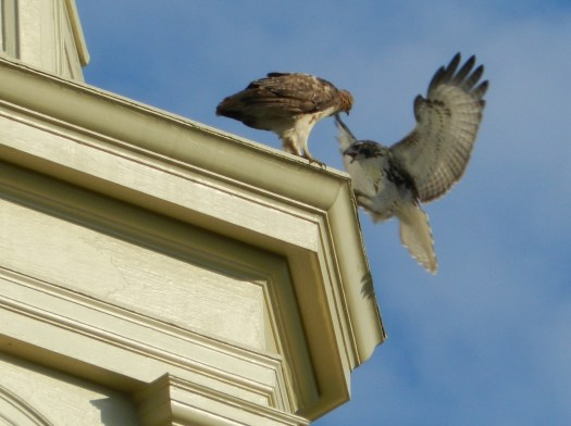 photograph of two hawks on a church steeple