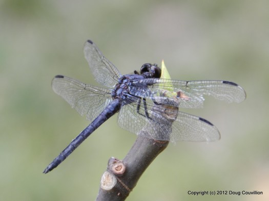macro photograph of a black dragonfly