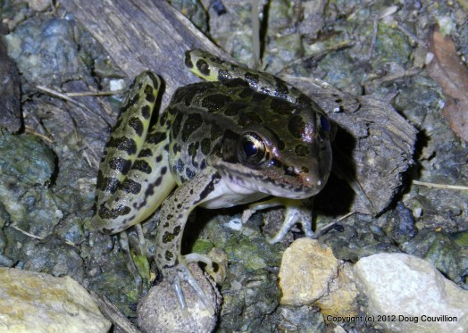 photograph of a leopard frog at night