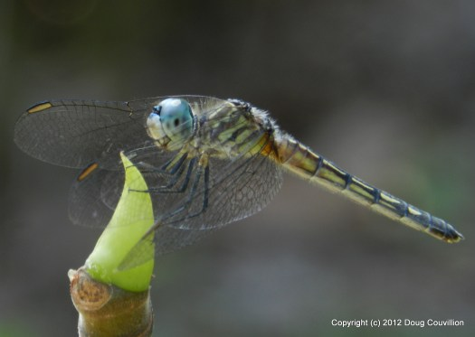 macro photograph of a dragonfly profile
