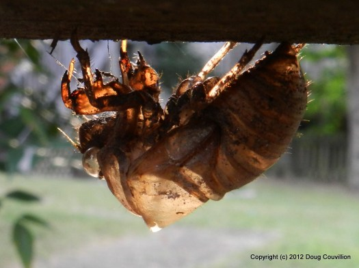 macro photo of a cicada shell hanging under a fence rail