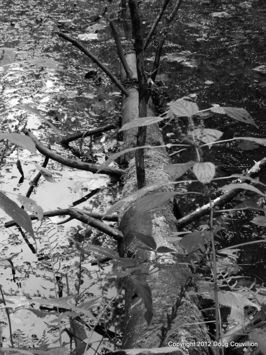 black and white photograph of a tree fallen into a pond