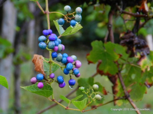 Photograph of bright blue grapes