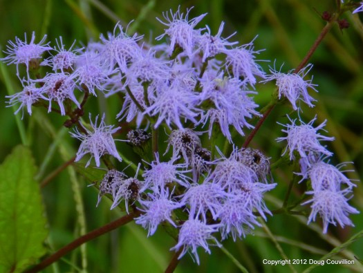 photograph of a mistflower plant after a rain storm