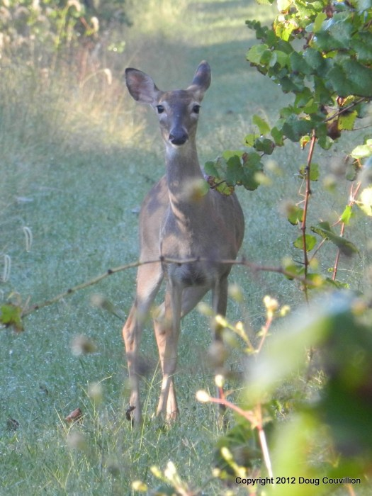 photograph of a whitetail deer