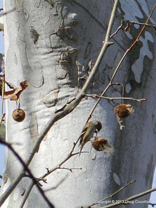 photograph of a gold finch in a sycamore tree