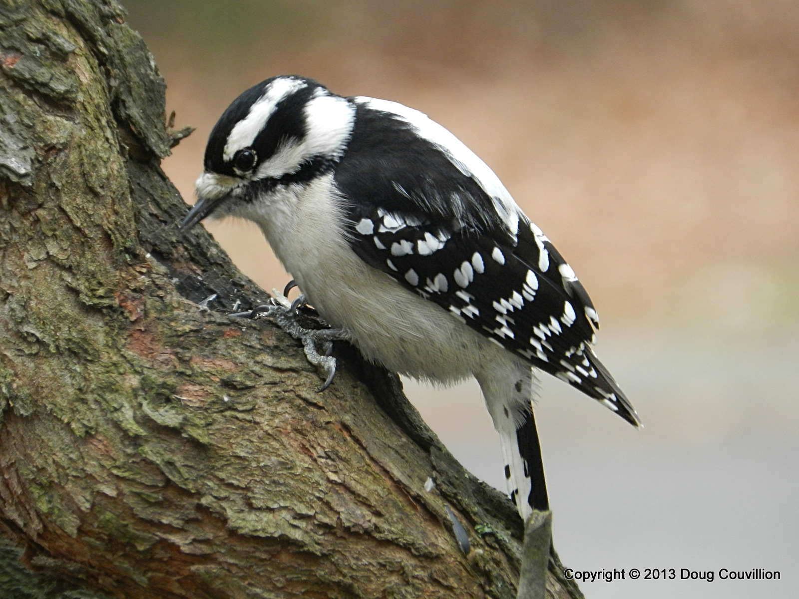 photograph of a female downy woodpecker