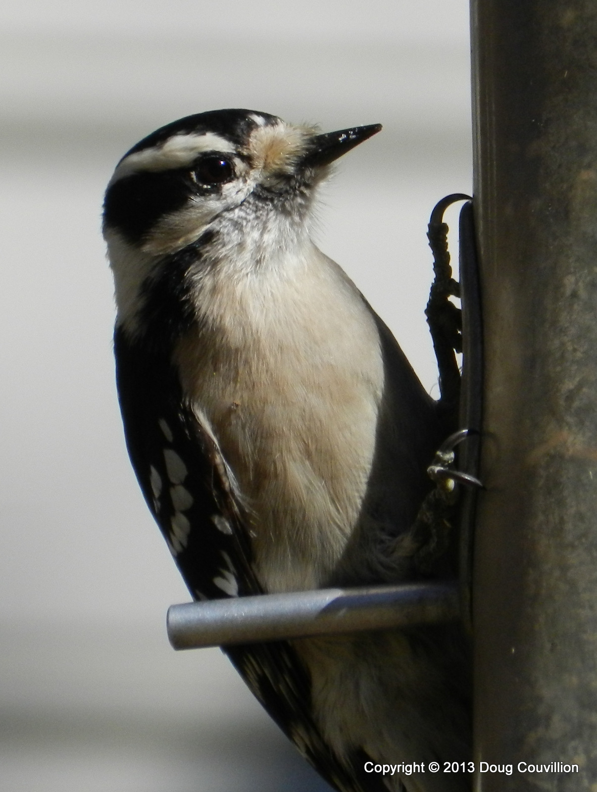 photograph of a female downy woodpecker on a birdfeeder