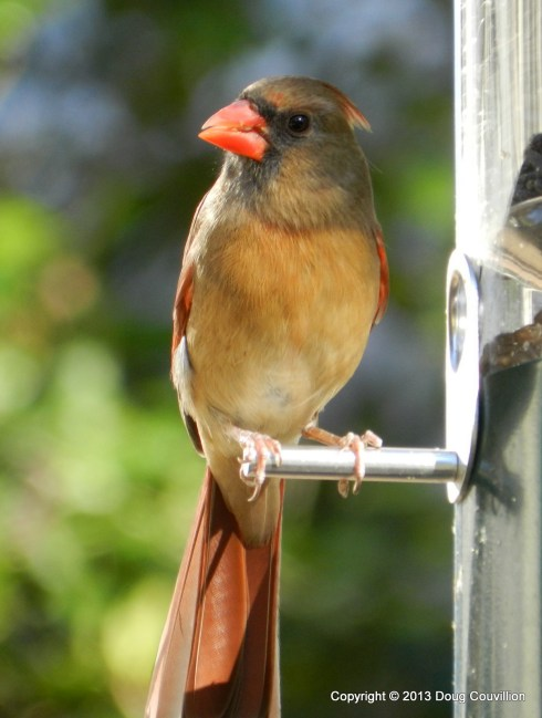 photograph of a female cardinal on a bird feeder