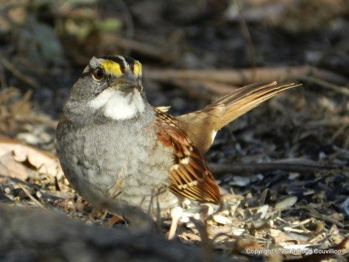 photograph of a white throated sparrow