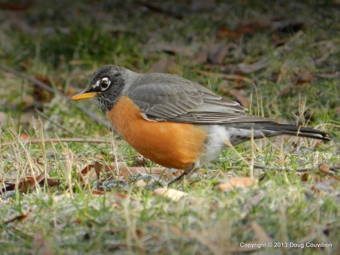 photograph of an American Robin