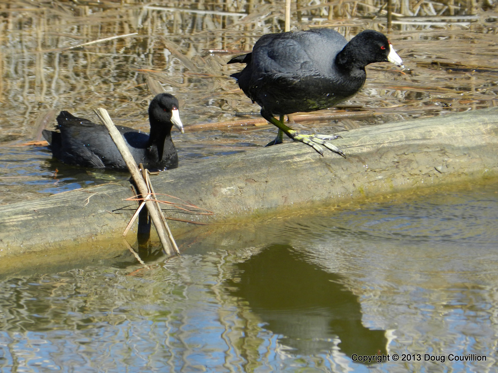 photograph of American Coots in the water