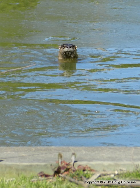 photograph of a river otter in the water