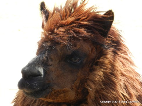 photograph of an alpaca
