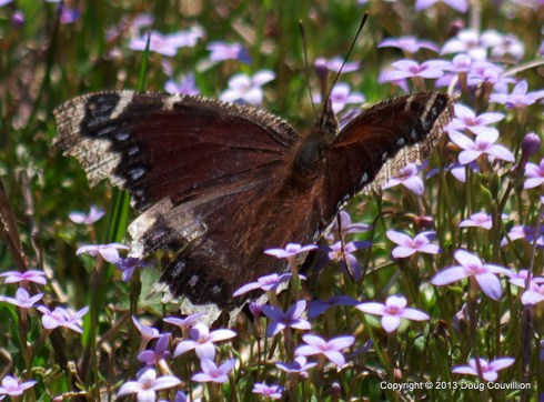 photograph of a mourning cloak butterfly on purple flowers
