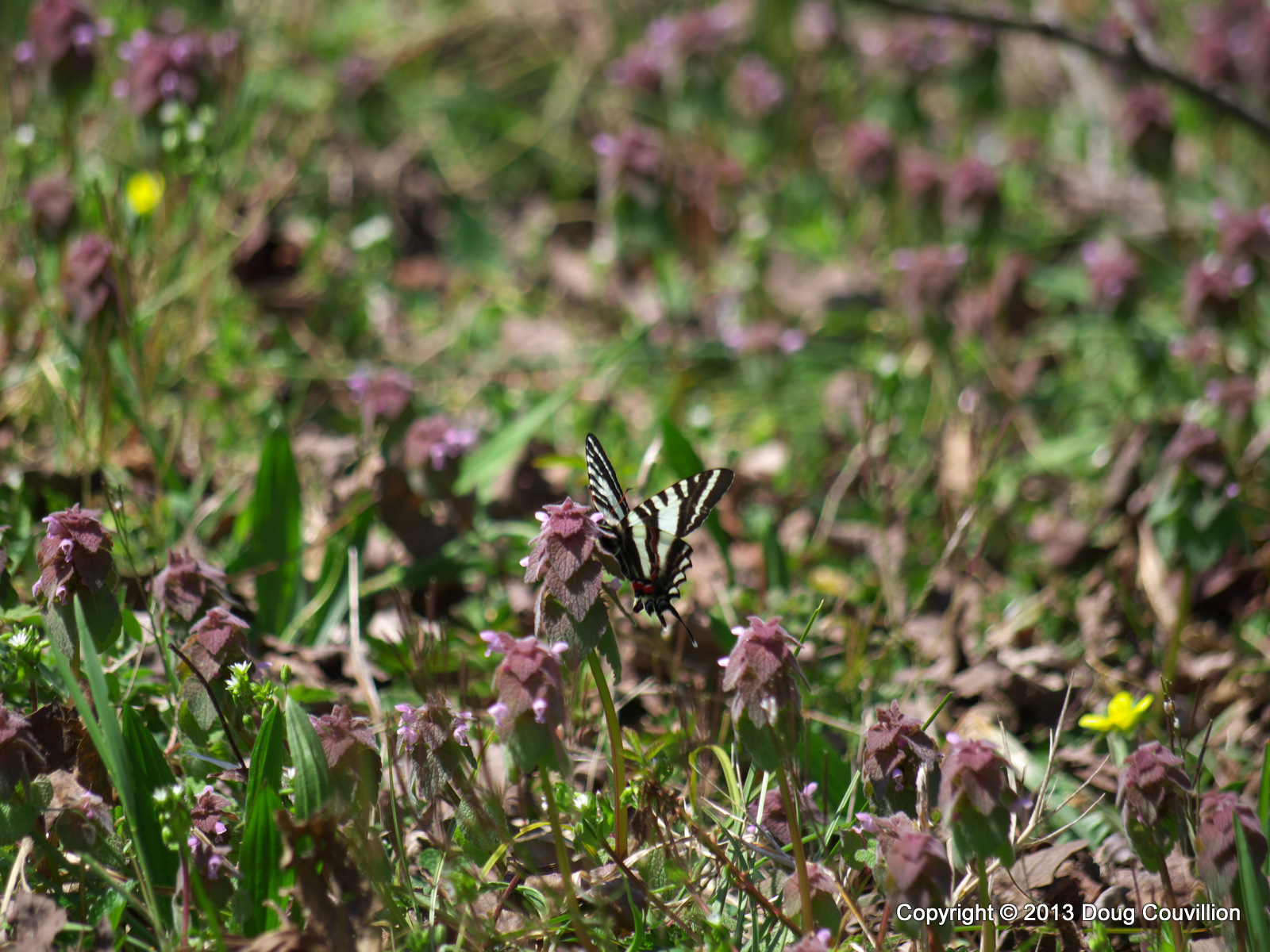 photograph of a Zebra Swallowtail butterfly with Henbit and Buttercups