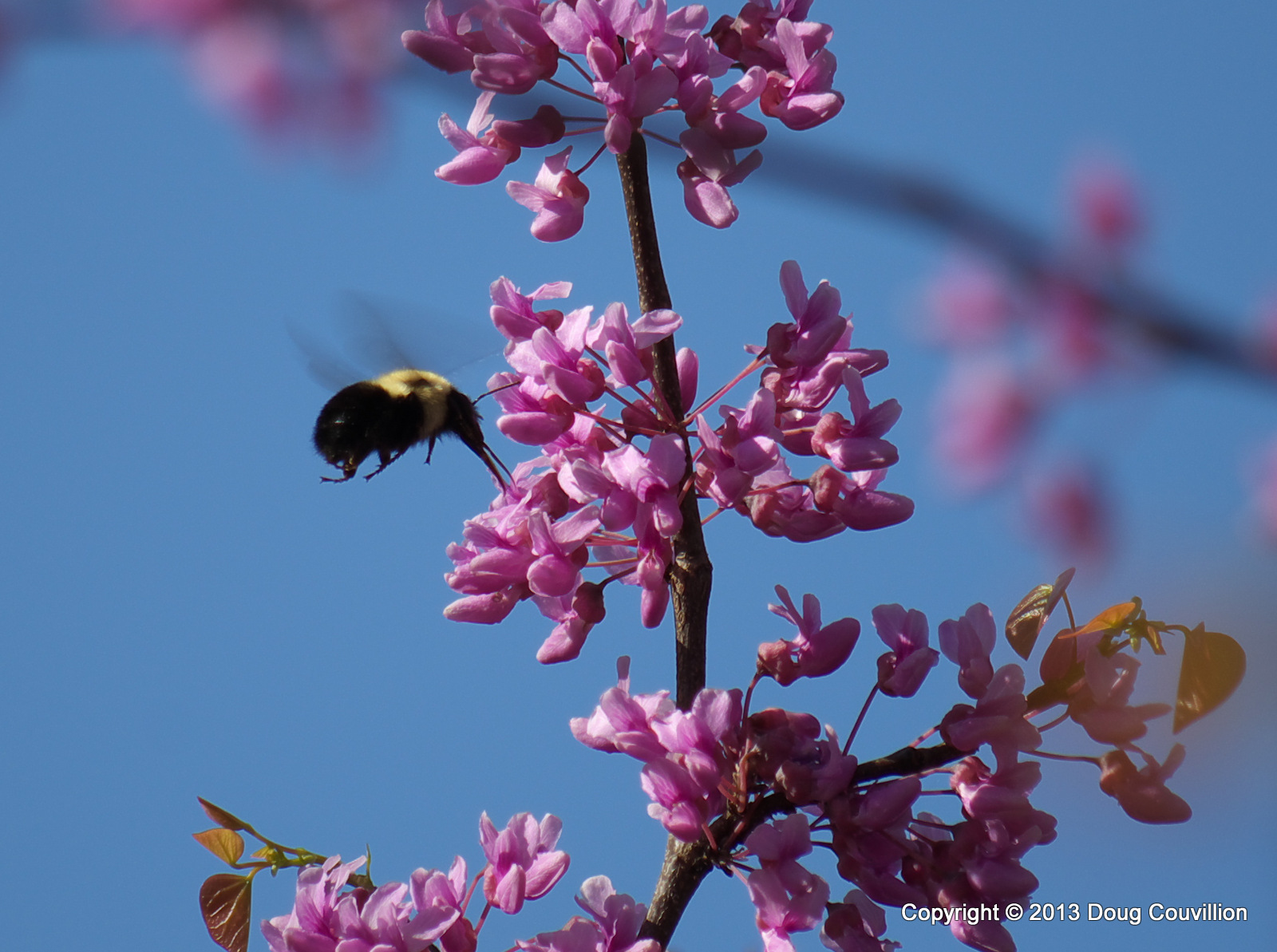 photograph of a bumble bee pollenating a redbud tree