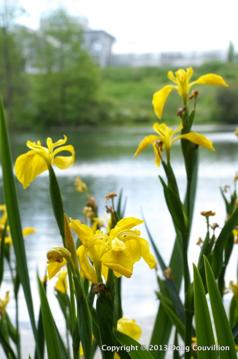 photograph of yellow iris flowers at a lake