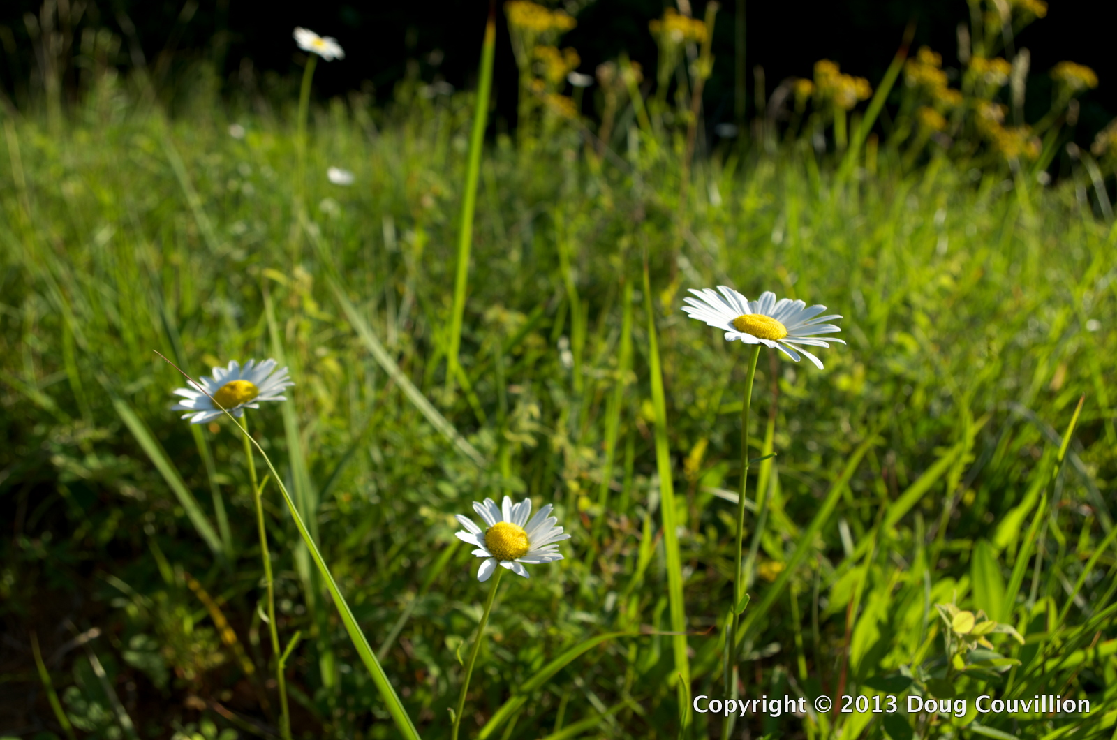 Photograph of wild daisies growing in a field