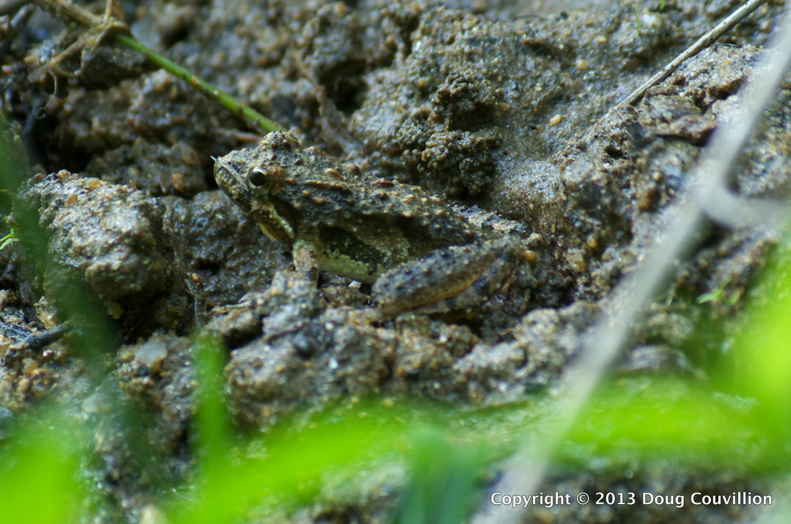 photograph of a cricket frog camouflaged in the mud