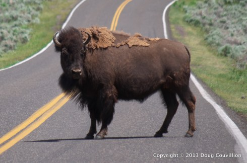 photograph of a bison standing in the middle of a road