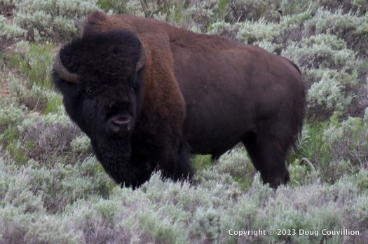 photograph of a bison bull in Yellowstone National Park