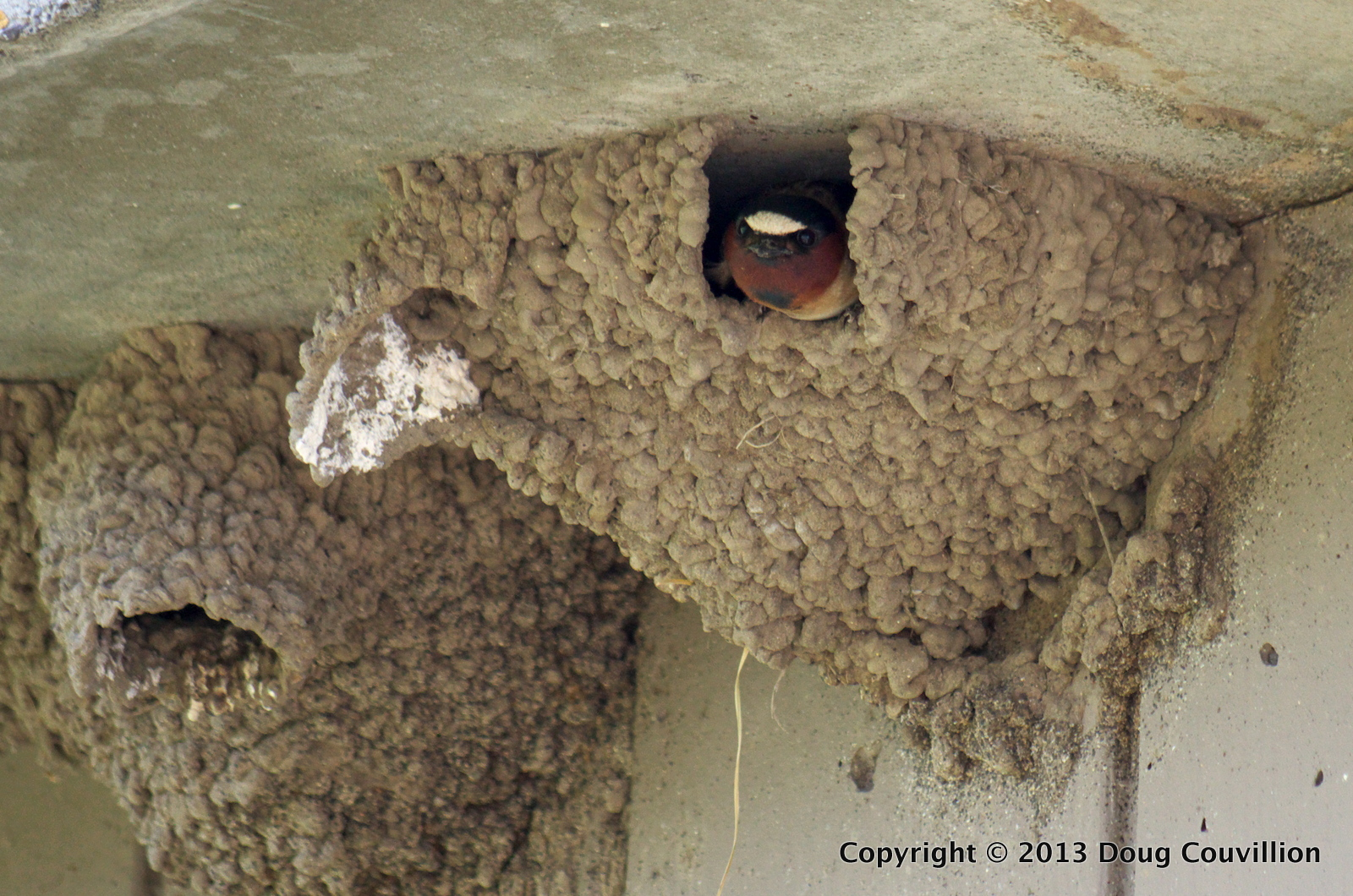 photograph of a cliff swallow in its nest
