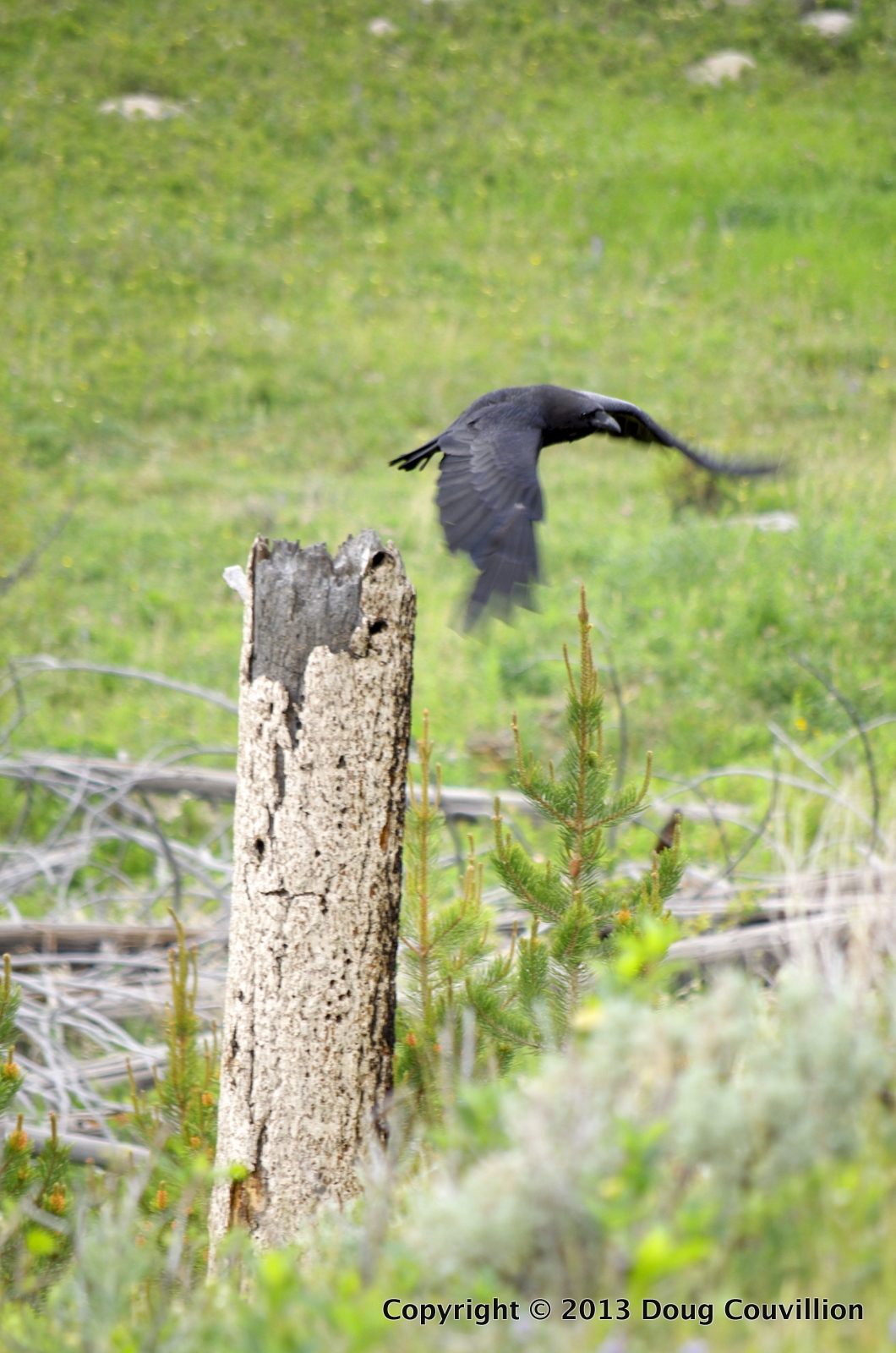 photograph of a raven taking off from a tree stump