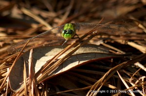 photograph of a bright green dragonfly resting on brown pine needles