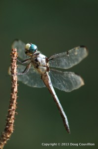 photograph of a dragonfly resting on a twig