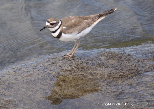 color photograph of a killdeer standing on a rock in the water
