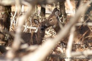 photograph of a whitetail deer with a fawn